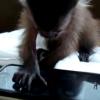Affe spielt Smartphonegame auf dem iPhone 4